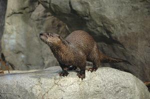 wild-center-otter